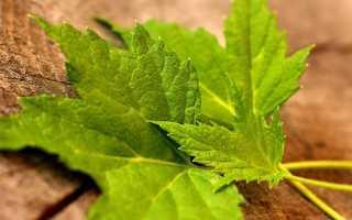 Смородиновый лист полезные свойства и противопоказания