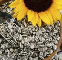 Сырые семечки подсолнуха польза и вред