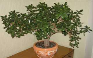 Чем полезно денежное дерево