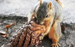 Кедровые орехи для чего полезны