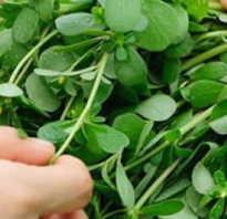 Фото портулак огородный полезные свойства