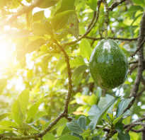 Что полезного в авокадо