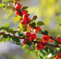 Чем полезен боярышник ягоды для организма человека