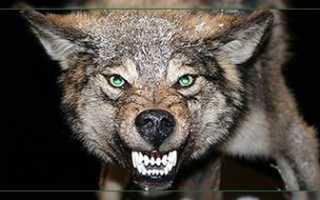 Мясо волка полезные свойства
