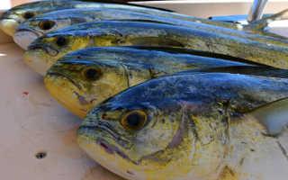 Рыба дорадо чем полезна