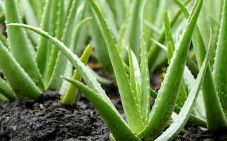 Растение алоэ польза и вред