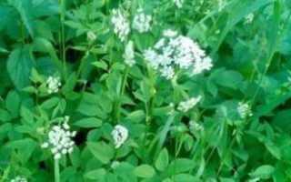 Сныть трава полезные свойства
