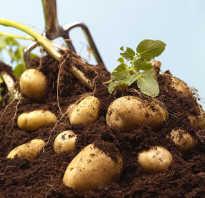Картошка польза и вред для здоровья