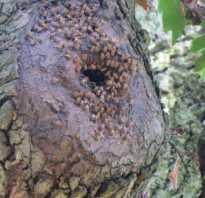 Мед бортевой полезные свойства