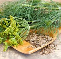 Семена укроп полезные свойства