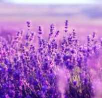 Трава лаванда полезные свойства