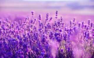 Лаванда трава полезные свойства и противопоказания
