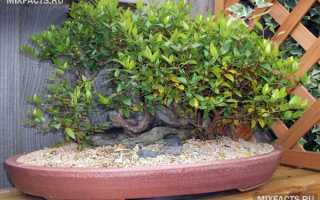 Мирт комнатное растение полезные свойства