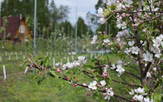 Что полезного в яблоках