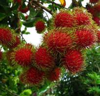Рамбутан фрукт полезные свойства и вред