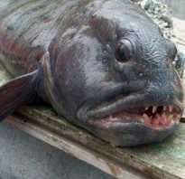 Чем полезна зубатка рыба