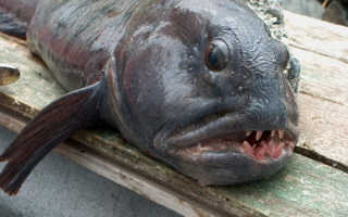 Рыба зубатка чем полезна