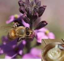 Мед аккураевый полезные свойства и противопоказания