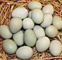 Утиные яйца польза и вред
