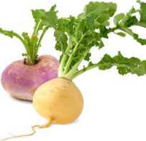 Репка овощ полезные свойства