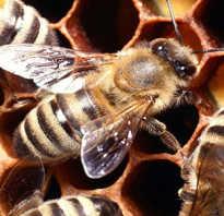 Перга пчелиная полезные свойства для мужчин