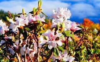 Рододендрон адамса полезные свойства и противопоказания