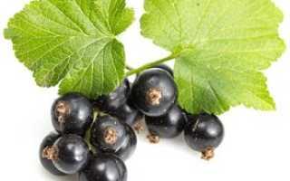 Чем полезна черная смородина для организма