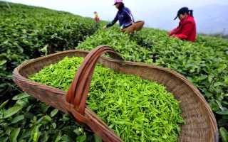 Чем полезен зеленый чай для организма