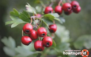 Плоды боярышника польза и вред