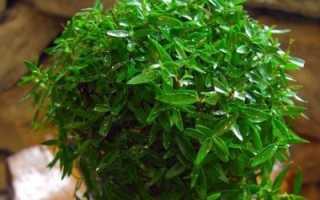 Полезные свойства мирт растение комнатное
