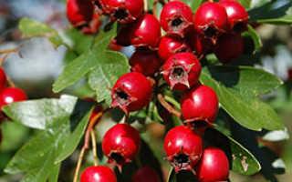 Плоды боярышника полезные свойства
