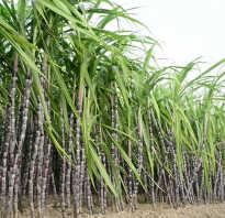 Полезен ли тростниковый сахар