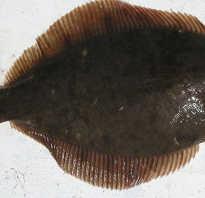 Полезные свойства рыба камбала
