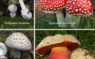 Полезные и ядовитые грибы