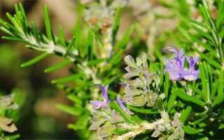 Розмарин фото растения полезные свойства