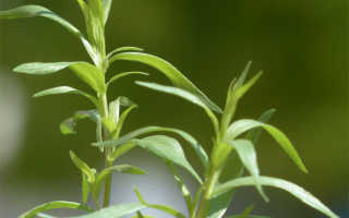 Тархун трава полезные свойства и противопоказания