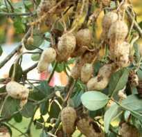 Чем полезны орехи земляные