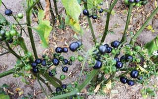 Самбери ягода полезные свойства