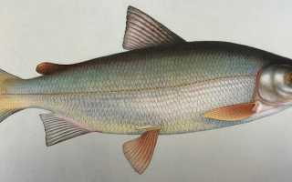 Рыба пыжьян полезные свойства