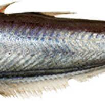Рыба путассу чем полезна