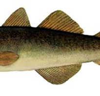 Навага рыба полезные свойства